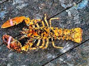 calico lobsters